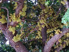 Karubenbaum oder Karobbaum